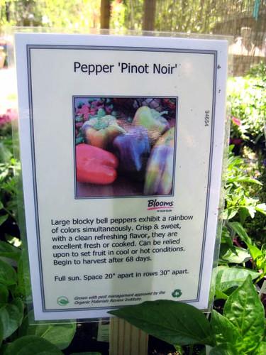 'Pinot Noir' Pepper