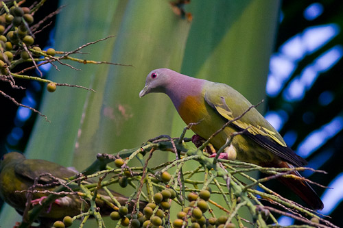 Pink-necked Green Pigeon , male
