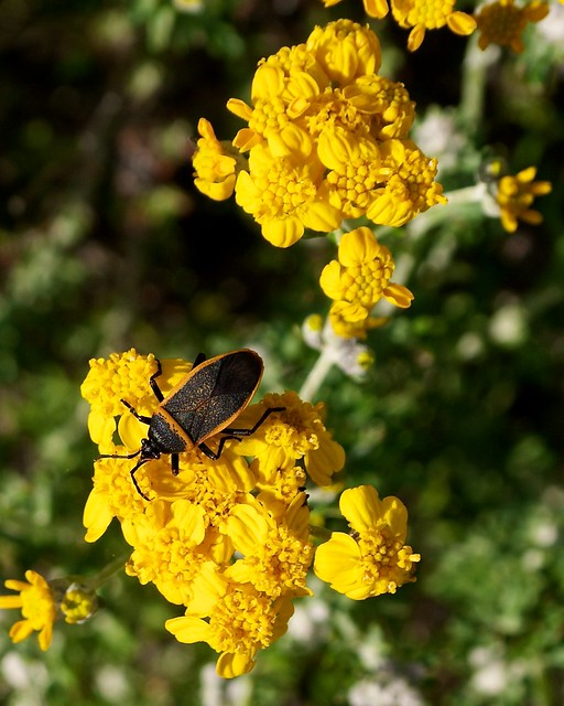 Black Flower Wasp From Australia: Black & Orange Insect On Yellow Flowers