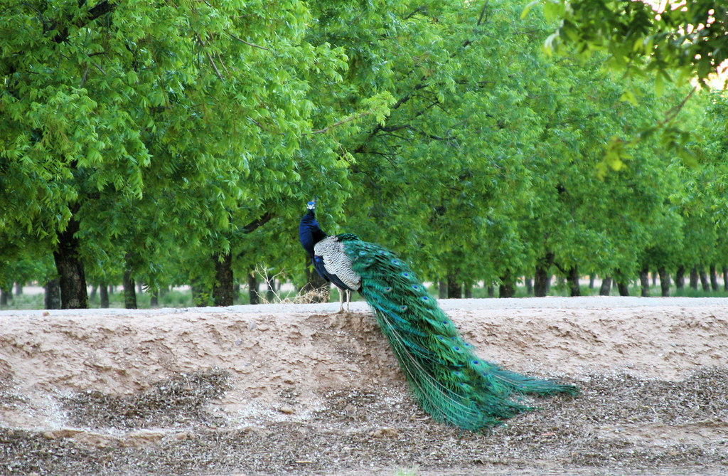 Proud Peacock Among the Pecans?