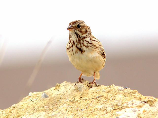 Vesper Sparrow 2-20120506