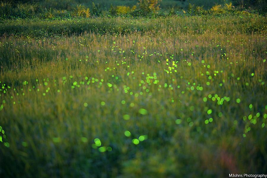 Firefly Prairie (IMG_5671)