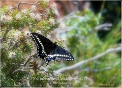 indra pergamus swallowtail butterfly photograph by Ron Birrell  DSC_2395
