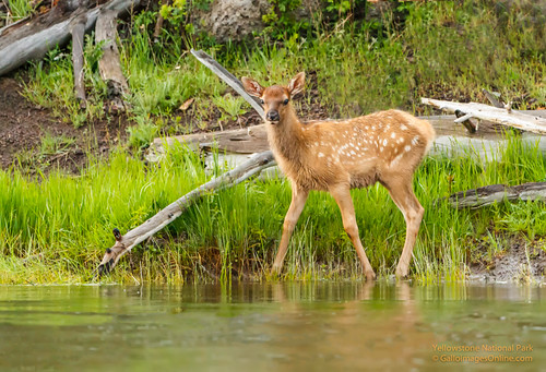 Elk calf by the Madison River by Mark/MPEG (Midwest Photography Enthusiasts Group)