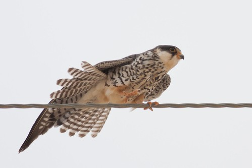 Amur Falcon Female