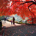 'Nature's Curtain,' United States, New York, New York City, Central Park, Red Maple Tree