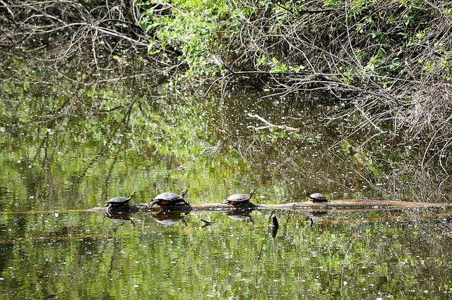 Quattro tartarughe nello stagno flickr photo sharing for Stagno tartarughe