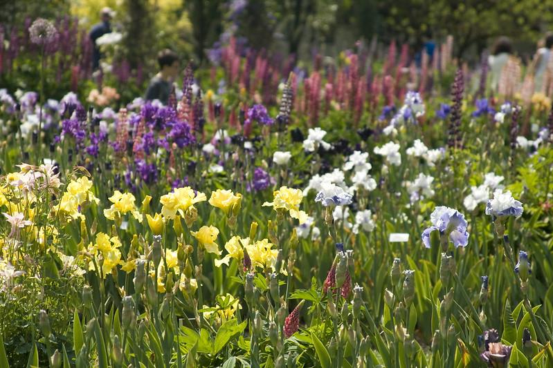 Iris pandemonium