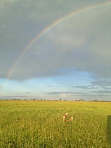 Cheetah rainbow