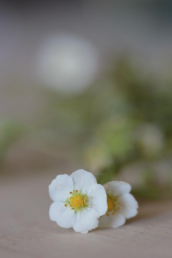 wild strawberry flowers