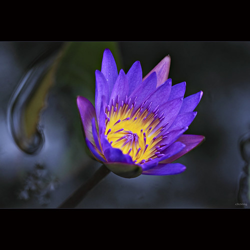 Brilliant Water Lily by -clicking-