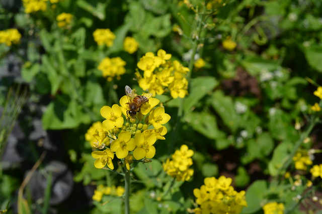 A Brassica in the Herb Garden, gone to flower and attracting pollinators. Photo by Jean-Marc Grambert.