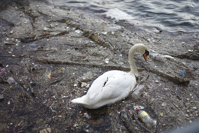 Swan in polluted waters by Ben Roffelsen on Flickr for State of the Environment