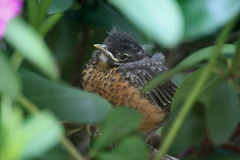 Tiny Robin, May 20, 2012 (b)