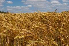 emmer, prairie, agriculture, triticale, einkorn wheat, rye, food grain, field, barley, wheat, plant, crop, cereal, grassland,