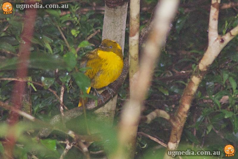 Golden bowerbird (Prionodura newtoniana)