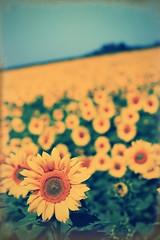 小さな向日葵が集まって