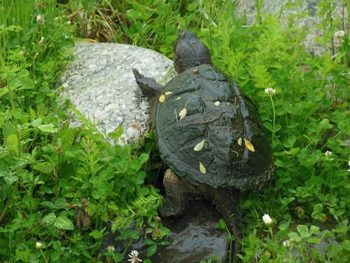 Turtle - Bangor, Maine