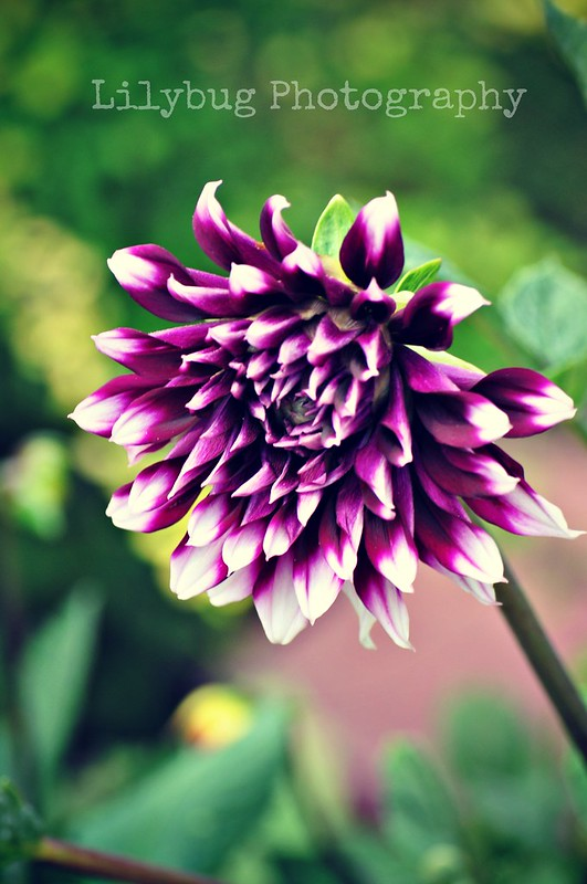 purple flower (Color)