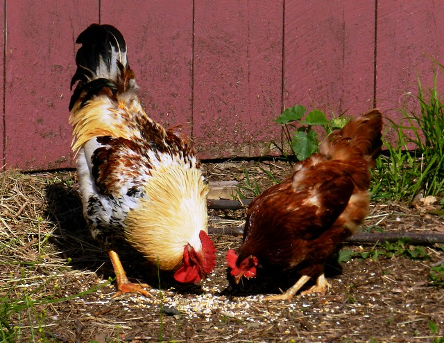 How Chickens Eating Grasshoppers Affects Food Quality