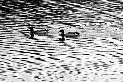 bw white lake black reflection swim evening blackwhite duck al alabama wave reflect journey hoover howardlake