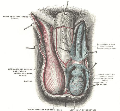 uroMaleScrotumGrayBB1143