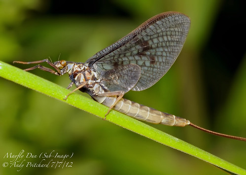 Mayfly by Andy Pritchard - Barrowford