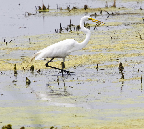 Great Egret at Horicon Marsh by Ricky L. Jones Photography