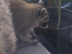 Baby racoon.