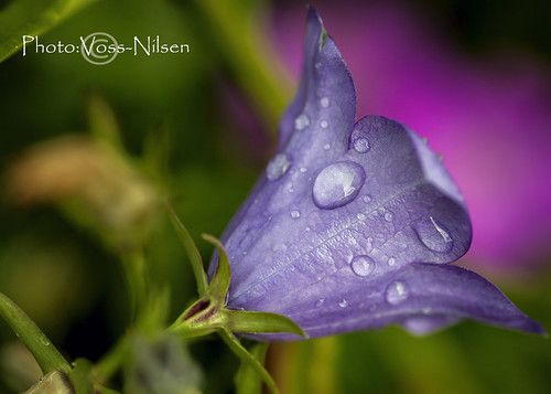 Raindrops on Harebell