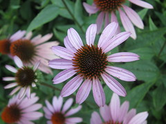 marguerite daisy(0.0), daisy(0.0), annual plant(1.0), flower(1.0), plant(1.0), macro photography(1.0), wildflower(1.0), flora(1.0), oxeye daisy(1.0), close-up(1.0), daisy(1.0), purple coneflower(1.0), petal(1.0),