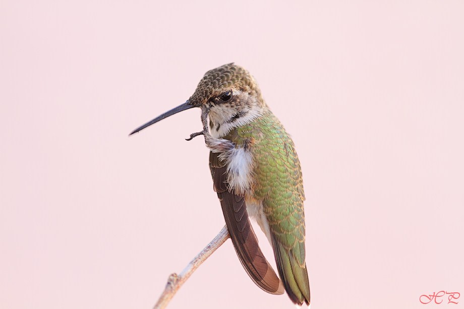 immature male Black Chinned Hummingbird 071512