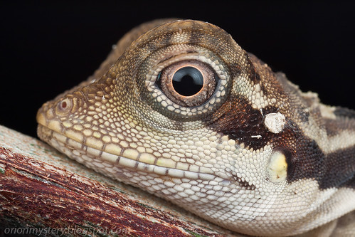 female angle head lizard, gonocephalus grandis portrait IMG_7020 copy