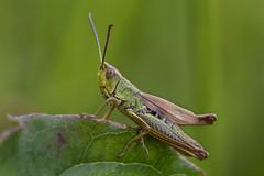 HolderMeadow grasshopper (Chorthippus parallelus)