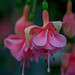 Fuchsia Devonshire dumpling by Bir18