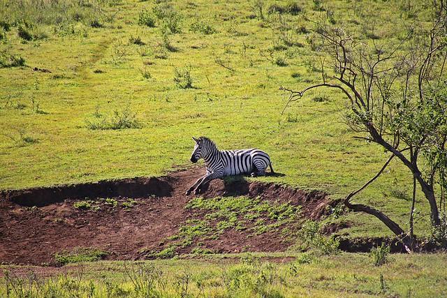 Zebra in Green