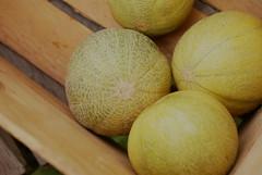 Cantaloupe Harvest