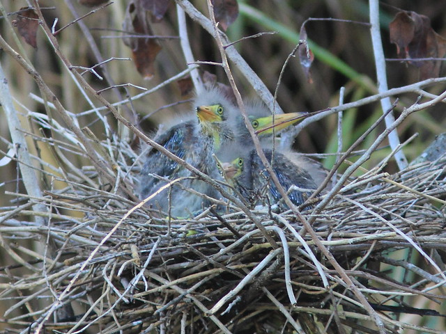 Green Heron chicks await feeding4 Nest 4HT 20120422