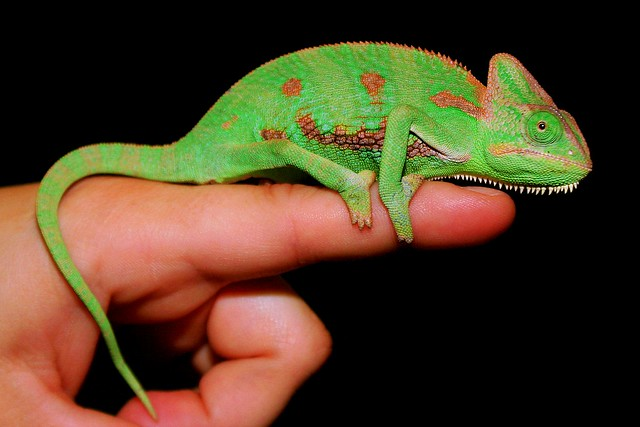 Young Veiled Chameleon | Young Veiled Chameleon at Pets N ...