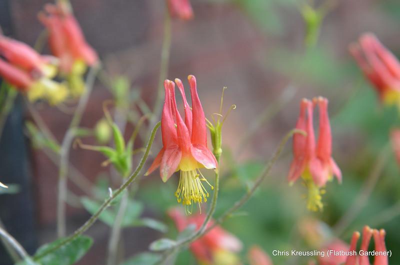 Aquilegia canadensis, Eastern Red Columbine