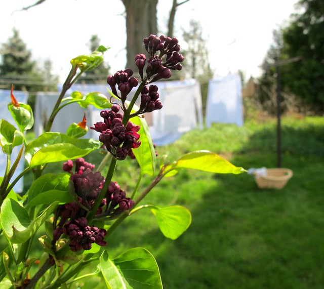 lilacs and laundry
