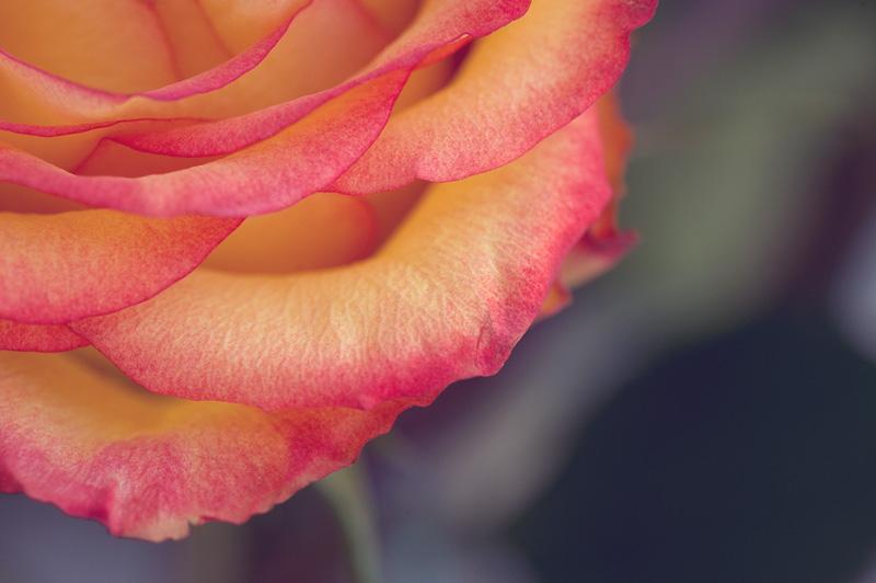 20120502_Roses_0009_web