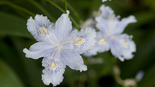 Bamboo iris (Iris confusa)