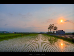 sunset over rice fields