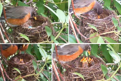 robin nest, may 5,7,9,11