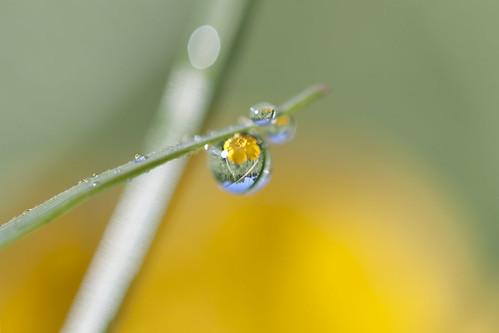 flower macro grass yellow sunrise canon dewdrops maryland drop petal dewdrop dew blade speedlite canonef100mmf28usmmacro canoneos500d 430exii t1i karampatsos jasonmk