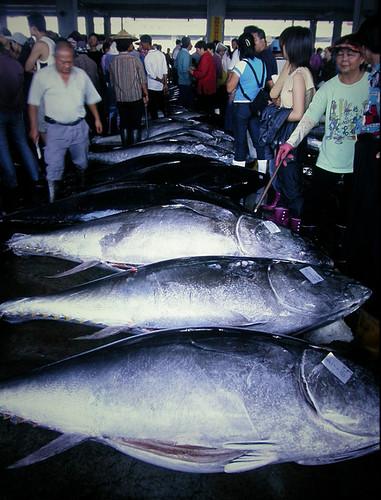 漁業資源在人類過度捕撈下,日漸衰竭。(黑鮪魚拍賣市場,攝影:柯金源)