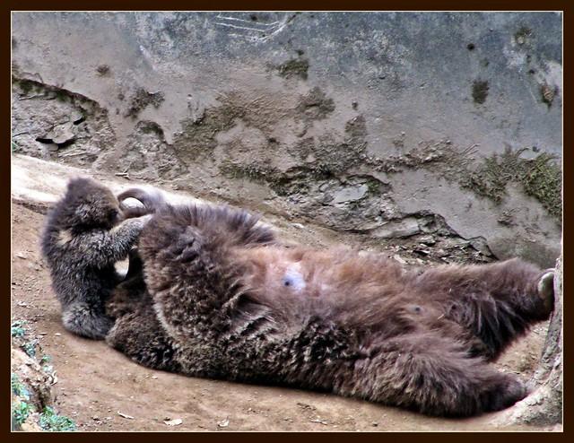 Himalayan Brown Bear and Cub