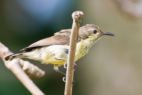 eclipse male Olive-backed Sunbird