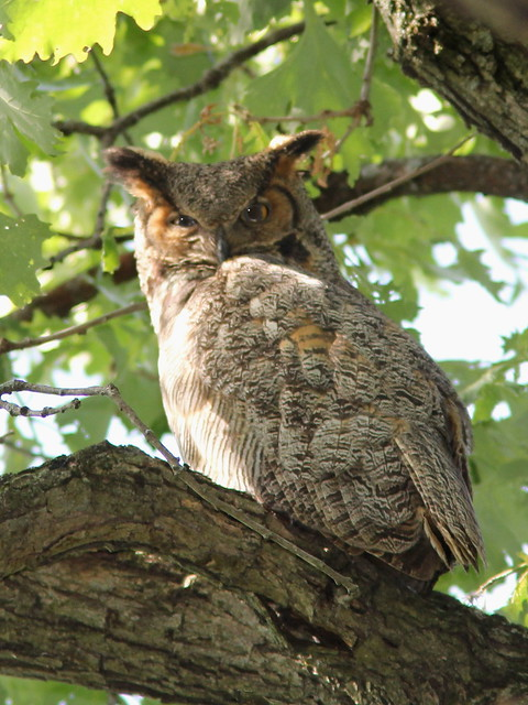 Great Horned Owl adult 2-20120523